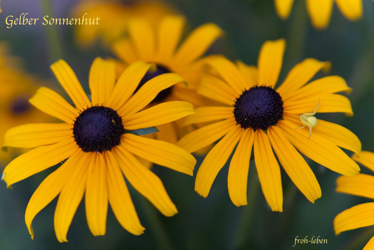 Gelber Sonnenhut_Echinacea_Veraenderliche Krabbenspinne_froh leben